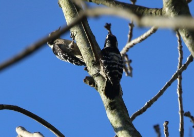 Lesser-spotted Woodpecker both first year females 18th February