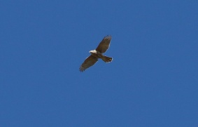 Goshawk, 5th April