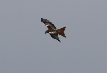 Red Kite, Cockley Cley, 6th March