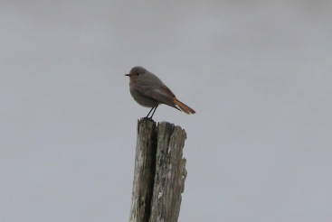 Black Redstart, Holme, 10th April