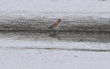 Black-tailed Godwit, Nar Valley Fisheries 6th March