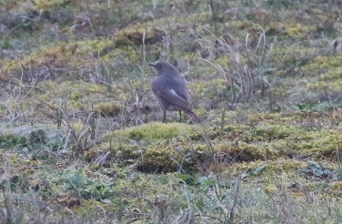 Black Redstart, Burnham Overy Dunes 15th April