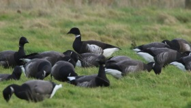 Black Brant, Cley 28th January