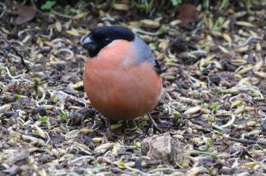 Bullfinch, Lynford,