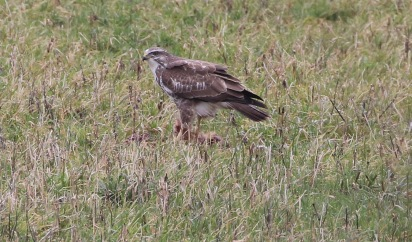 Buzzard, Cockley Cley 10th February