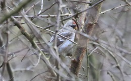 Coues's Arctic Redpoll, Cockley Cley 21st March