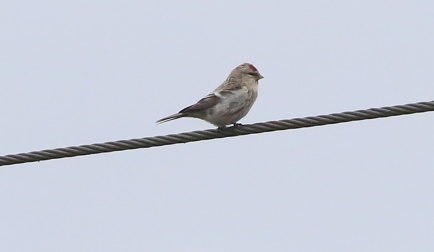 Coues's Arctic Redpoll, Felthorpe, 3rd April