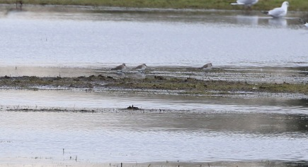 Dunlin, Nar Valley Fisheries 6th March