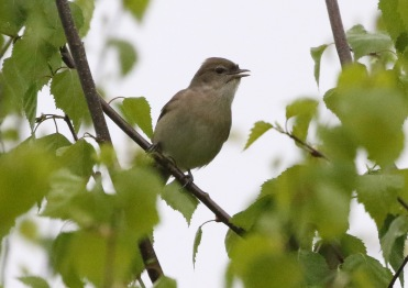 Garden Warbler, Didlington, 28th April