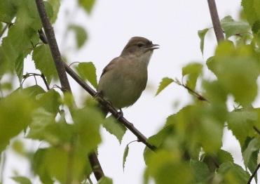 Garden Warbler, Didlington, 28th April