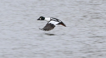 Goldeneye, Nar Valley Fisheries 6th March