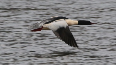 Goosander, Nar Valley Fisheries, 13th January
