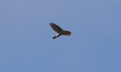 Goshawk, Cockley Cley. 20th March