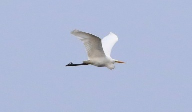 Great White Egret, Nar Valley Fisheries, 13th January