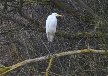 Great-white Egret Nar Valley Fisheries 6th March