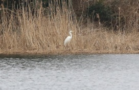 Great-white Egret Nar Valley Fisheries 6th March 3rd bird