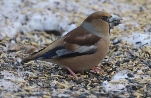 Hawfinch, female 2nd March