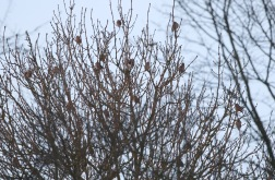 Hawfinch, West Tofts, 10th February