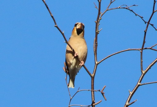 Hawfinch, Lynford 25th January