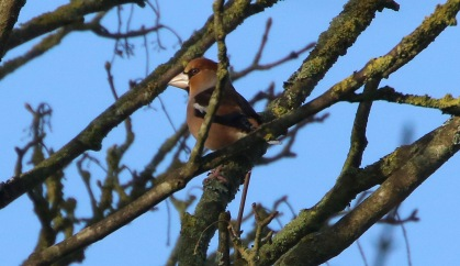 Hawfinch, Great Massingham 25th January