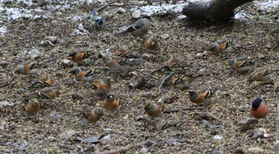 Brambling, Lynford 14th January