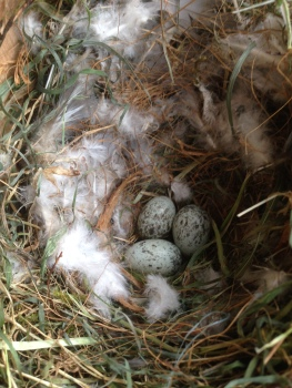House Sparrows nest Cockley Cley 29th April