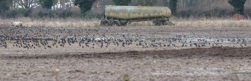 Lapwings and Starlings at Great Cressingham 5th February
