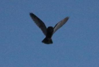 Long-eared Owl 22nd February