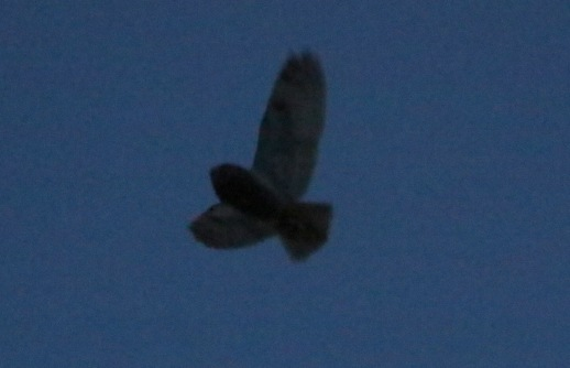 Long-eared Owl 22nd February