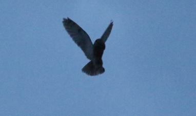 Long-eared Owl 6th March