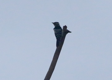 Lesser-spotted Woodpecker, 10th March