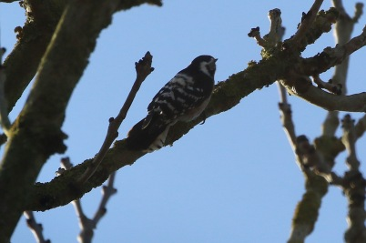 Lesser-spotted Woodpecker female 18th February