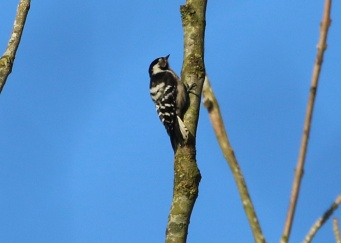 Lesser-spotted Woodpecker adult female 18th February