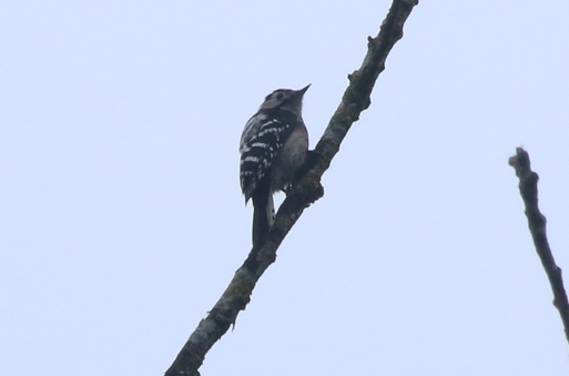 Lesser-spotted Woodpecker 25th March