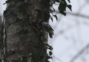 Lesser-spotted Woodpecker, 27th March