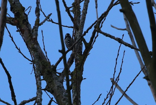 female Lesser-spotted Woodpecker 5th February