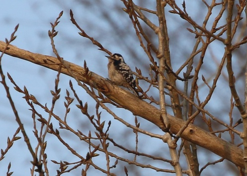 Lesser-spotted Woodpecker 6th April