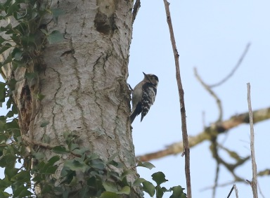female Lesser-spotted Woodpecker, 10th February