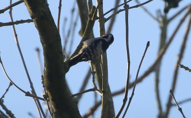 Lesser-spotted Woodpecker, male 25th February