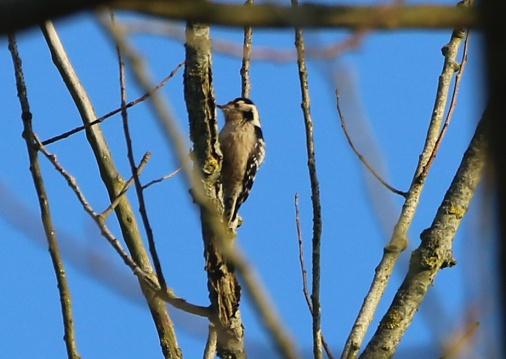 Lesser-spotted Woodpecker, Santon Downham, 24th February