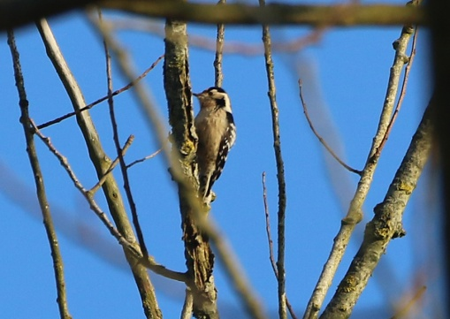 Lesser-spotted Woodpecker, Santon Downham, 24th February