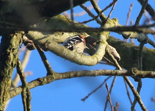 Lesser-spotted Woodpecker, Santon Downham, 26th March