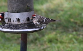 Mealy Redpoll, Cockley Cley 26th March