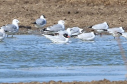 Mediterranean Gull, Cockley Cley 19th March