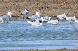 Mediterranean Gull, Cockley Cley 19th March
