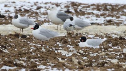 Mediterranean Gull, Great Cressingham 19th March
