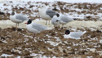 Mediterranean Gull, Great Cressingham 19th March