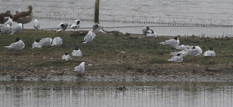 Med Gulls Titchwell. 10th April