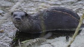 Otter, Santon Downham 18th February