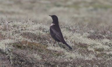 Ring Ouzel, Burnham Overy Dunes 15th April